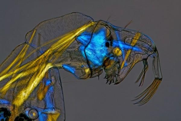 7. Larva de mosquito