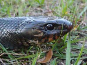 Serpente cabeçuda