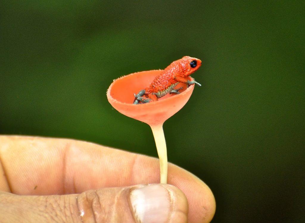 Granular-Poison-Dart-Frog