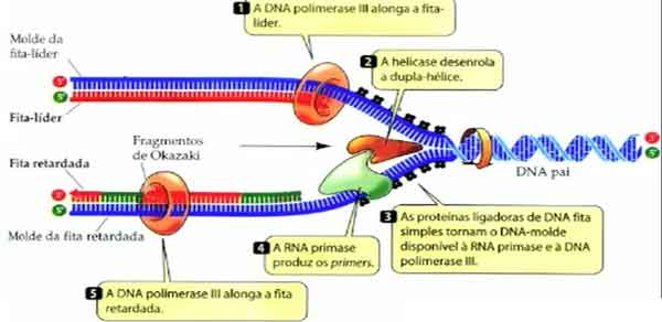 DNA ligase polimerase primers