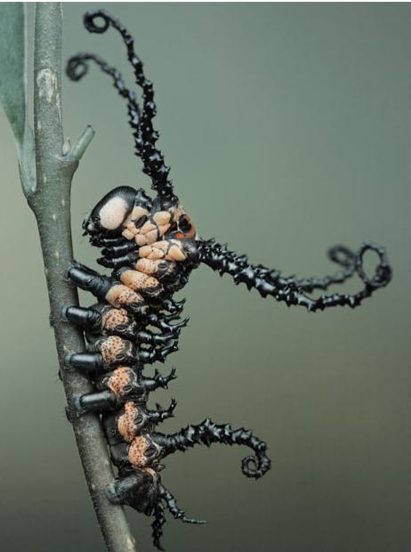 lagarta preta