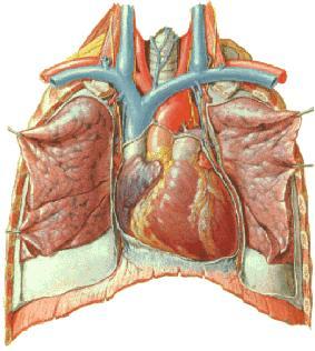 o coração situado no torax