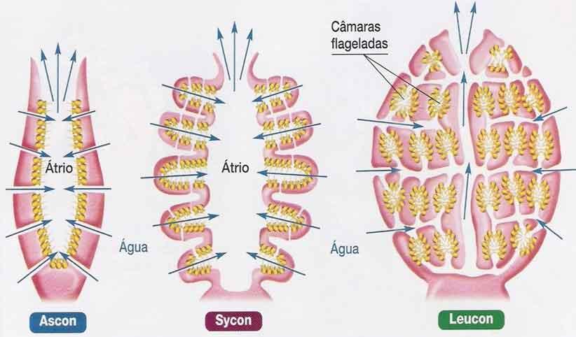 Filo dos Poríferos características e fisiologia - Resumo áscon sycon leucon