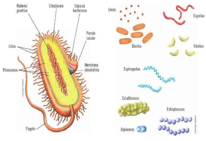Reino Monera - as bactérias e cianobactérias - características