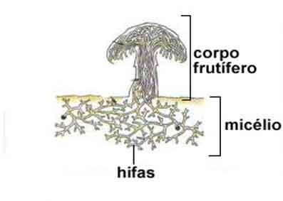 Reino Fungi – Características Gerais