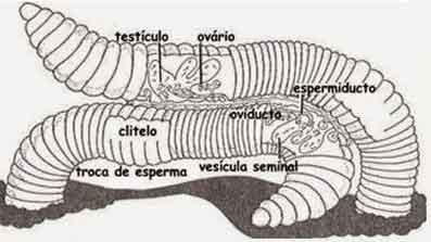 reprodução dos anelídeos