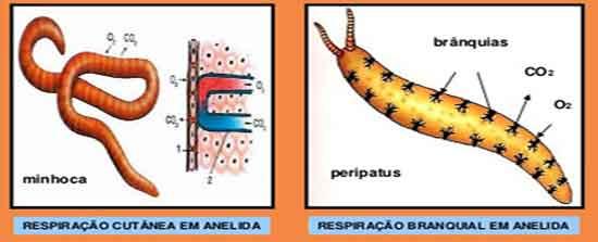 Respiração cutânea e braquial