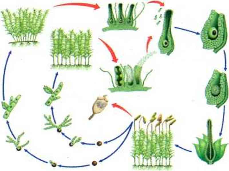 reprodução briofitas