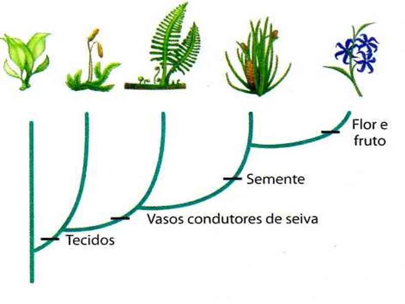 Evolução classificação plantas
