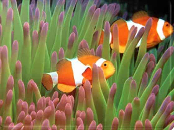 peixe palhaço e anemonas