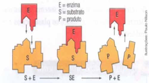 encaixe enzima substrato