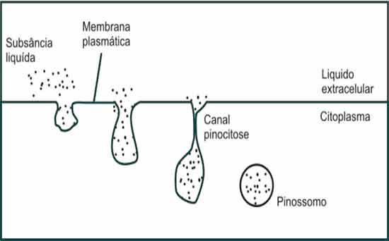 vesículas pinocitóticas