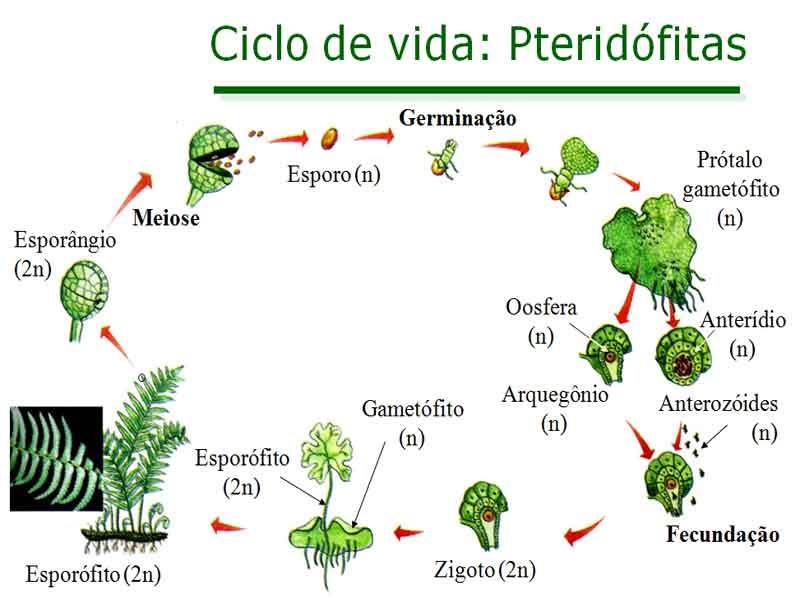 As pteridófitas características reprodução exemplos