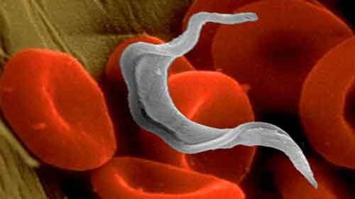 Photo of Doenças causadas por protozoários