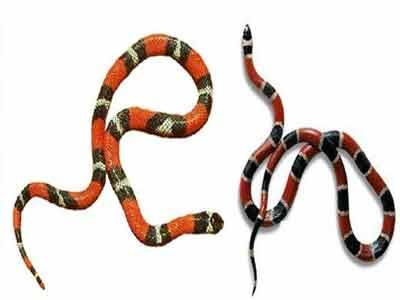 Cobra coral verdadeira e falsa
