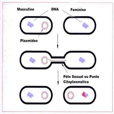 conjugação-bacteriana