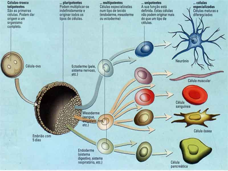 diferenciação-celular