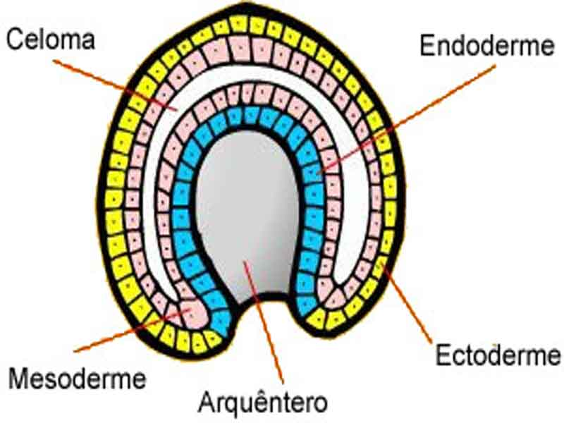 ectoderma mesoderma endoderma arquentâmero