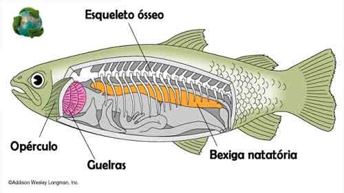 peixes com esqueleto ósseo