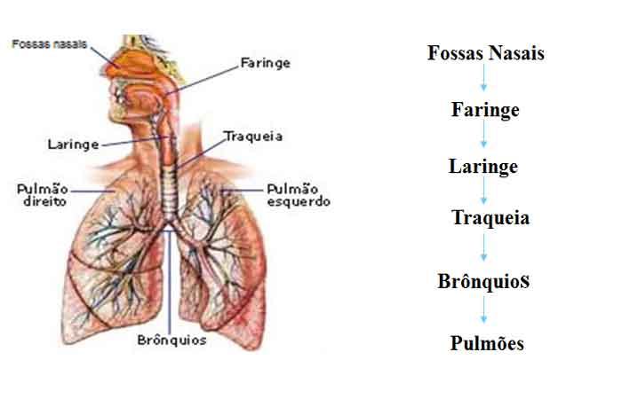 Excepcional Anatomía E Histología Del Sistema Respiratorio Foto ...