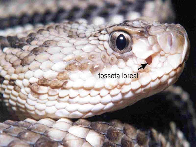 narinas de cobras