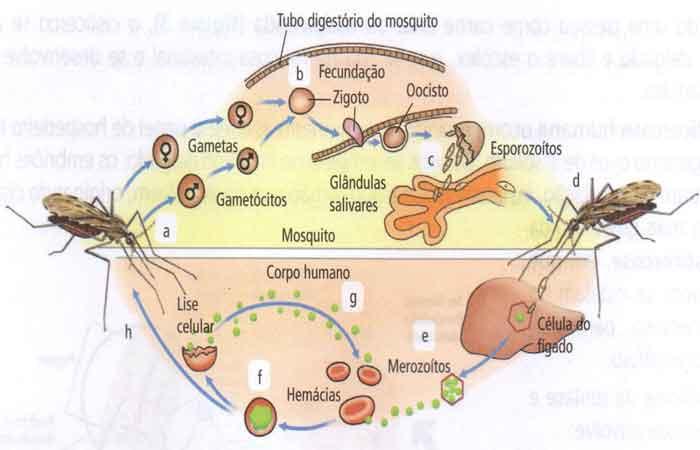 transmissor é o mosquito-prego