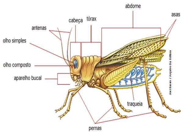 classe insecta - características, ordens, insetos sociais