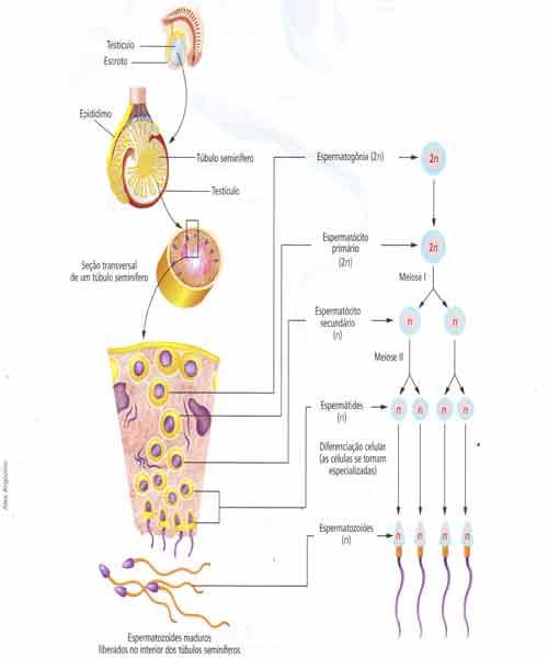 espermatogonias