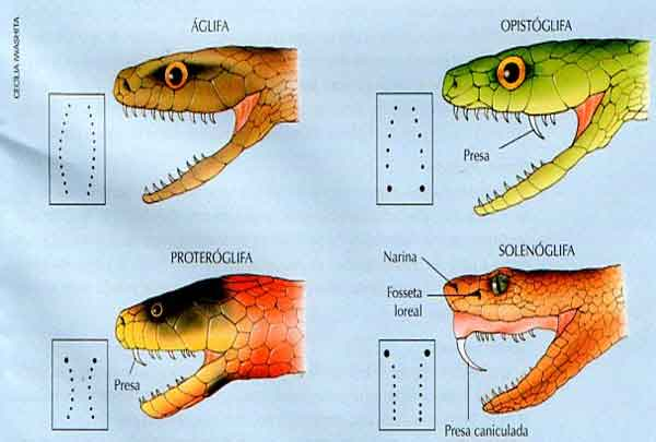 Os tipos de serpentes peçonhentas