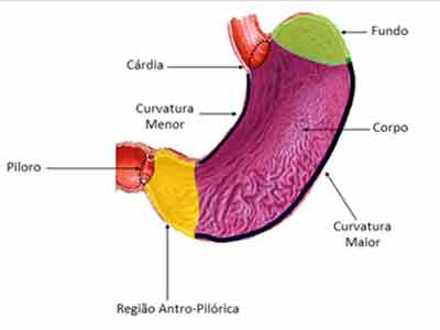 Sistema Digestório – Função, anatomia, humano – Resumo