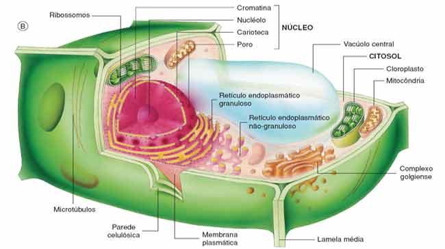 a celula vegetal - características gerais