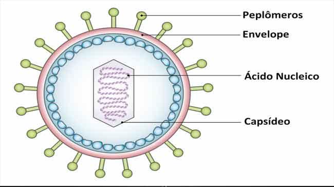 Anatomia viral