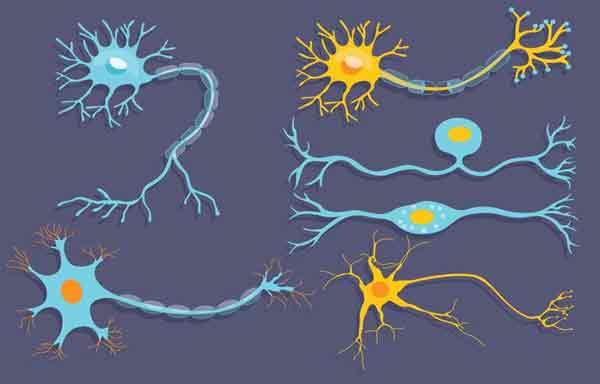 Neurônio Estrutura Função E Classificação Planeta Biologia