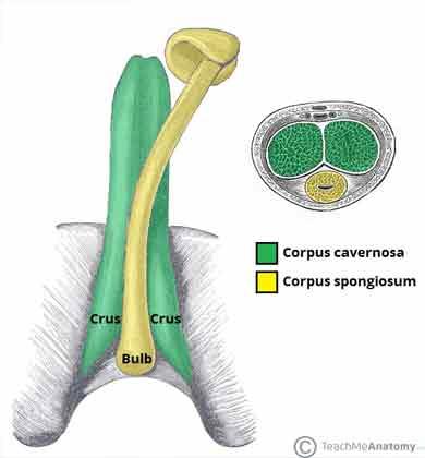 ilustração de pênis