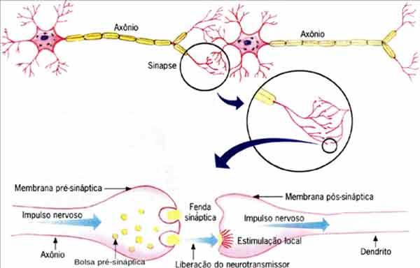 Direção da transmissão em um neurônio