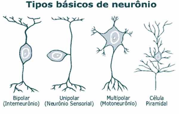 Neurônio - estrutura, função e classificação
