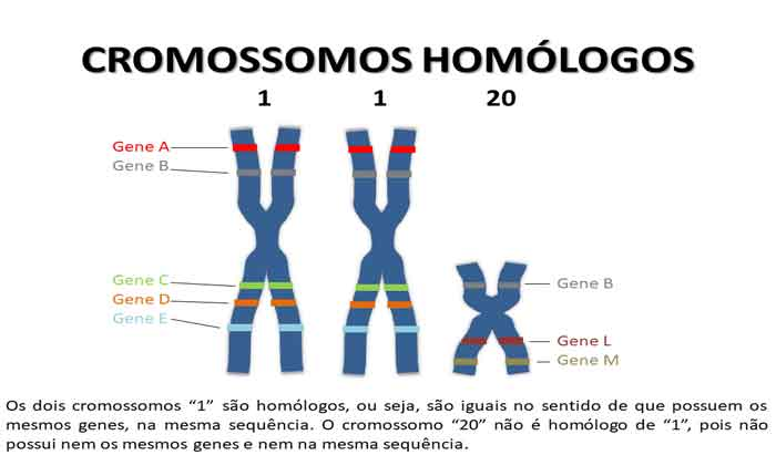 O que são Cromossomos Homólogos - Função, definição