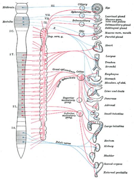 Sistema Nervoso Autônomo: fisiologia, anatomia – Resumo