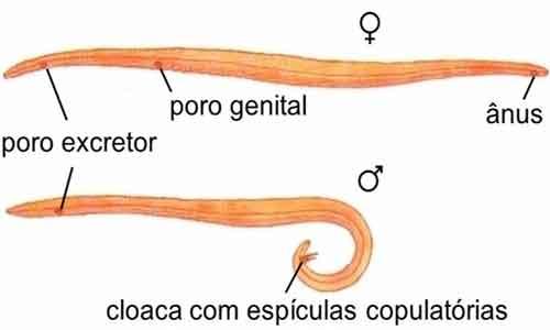 Sistema reprodutor dos nematelmintos