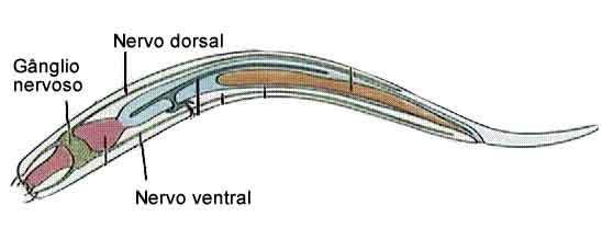 Anatomia e órgão do sistema nervoso dos nematelmintos