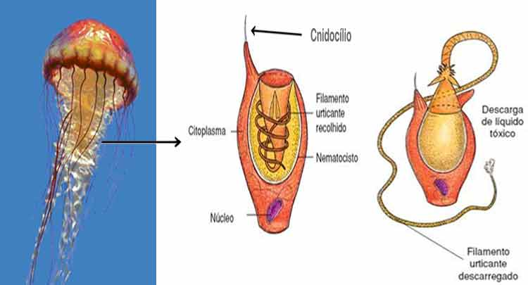 cnidoblasto cnidócito