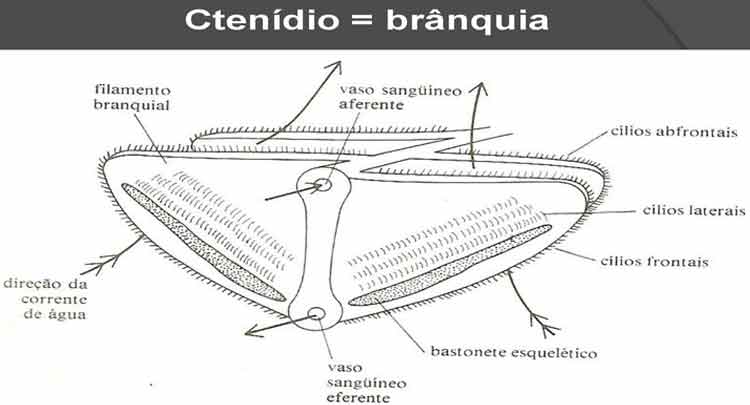 O que são Ctenídos - Ctenidium