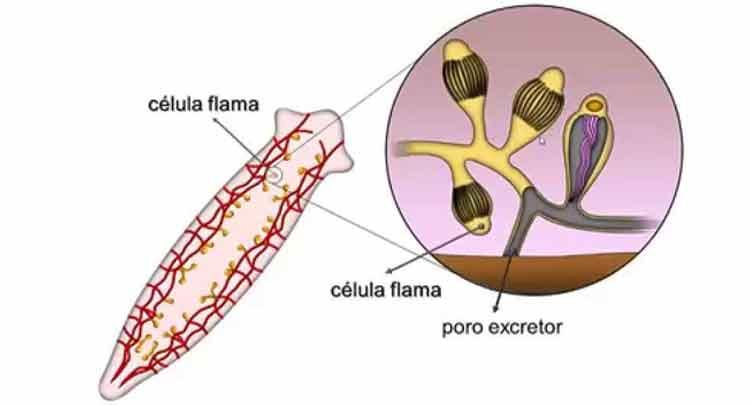 Células-flama também são conhecidas como solenócitos e células-chama