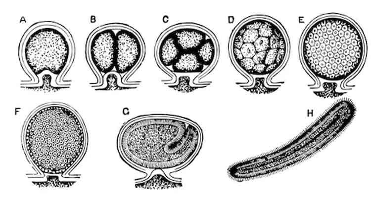 Como são, como se formam e o que fazem as plânulas