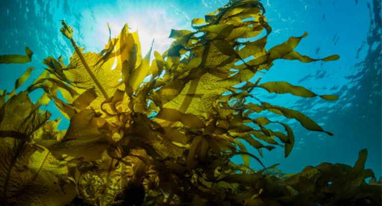 Algas do mar