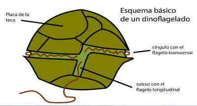 como são os dinoflagelados