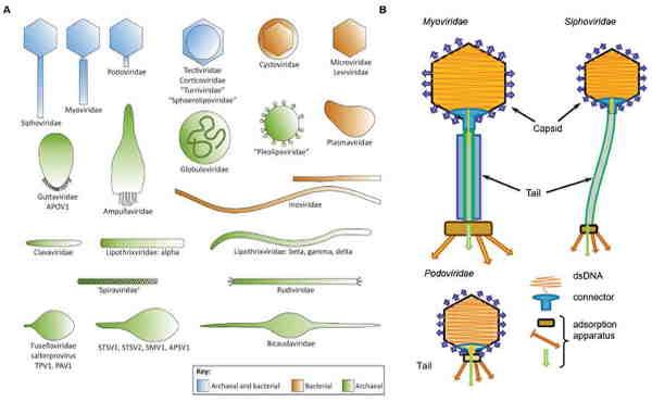 fagos filamentosos, fagos com envelope viral contendo lipídios e fagos com lipídios no invólucro das partículas