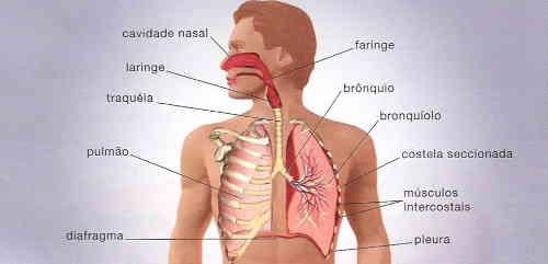 anatomia com as principais estruturas e órgãos do sistema respiratório