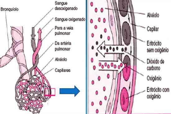 Homeostase através do controle do pH do sangue