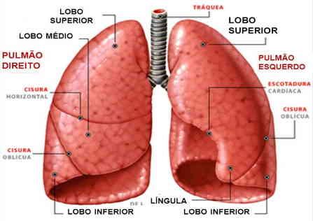 pleura pulmão fisiologia